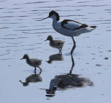 Quiet-Reflections-Avocet-chicks