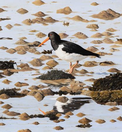 Low-Tide-Oystercatcher-